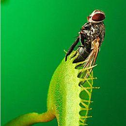 $enCountryForm.capitalKeyWord Australia - 30 PCS   Pack Potted Insectivorous Plant Seeds Dionaea Muscipula Giant Clip Venus Flytrap Seeds Carnivorous Plant Free Shipping