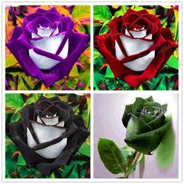200 Pièces / Sachet Rare Rose Graines Spécial Fleur Graines Rose Noire Fleur Avec White Red Edge Rose Graines Bonsaï Plante Pour La Maison Et Le Jardin
