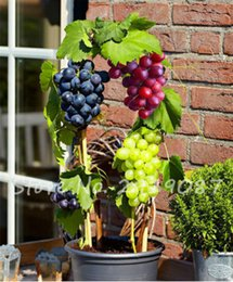 grape fruit seeds Australia - 50 Pcs Grape Seeds Organic Heirloom Sweet Fruit Seeds Miniature Grape Vine Seeds Easy To Grow Plant For Home Garden