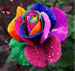 $enCountryForm.capitalKeyWord Australia - Free shipping 50 Seeds Rare Holland Rainbow Rose Flower Lover Multi-color Plants Home Garden rare rainbow rose flower seeds