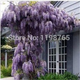 Discount wisteria tree flowers 100 Pcs Hot Selling Floribunda Chinese Purple Wisteria Tree Vine Sinensis Seeds Deciduous Flower Autumn Diy Free Shippin