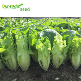 chinese seeds vegetable 2021 - Suntoday Chinese Bok Choy Pakchoy Cabbage Pickle Brassica Vegetable Seeds Asian Garden Plant Hybrid Non-GMO Organic Fres