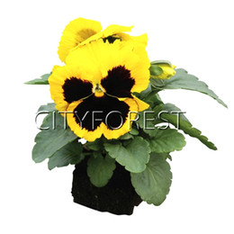 China Giant Yellow Blotch Pansy F1 100 Seeds Hardy Easy to Grow Great for DIY Home Garden Bonsai Container Landscape Flower Bed Borders suppliers