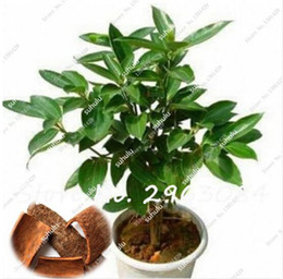 Indoor Trees For Sale Australia   New Featured Indoor Trees For ...