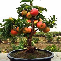 Bonsai Fruit Tree Online Bonsai Tree