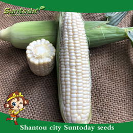 wholesale corn seeds NZ - Suntoday Sweet Eat Directly White Waxy Fruit Corn Edible Zea Mays Seeds Asian Garden Plant Heirloom Non-GMO Hybrid Organic Fresh Seeds