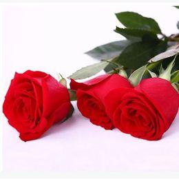 Бесплатная доставка Красные и фиолетовые розы Семена 30 штук Семена на пакет * Новые Прибытие Ombre Очаровательные садовые растения