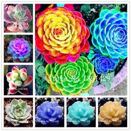 Bonsai Lotus Seeds Australia New Featured Bonsai Lotus Seeds At
