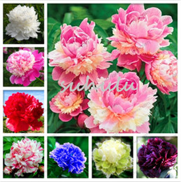 wholesale peony seeds Australia - 10 Pcs Rare Double Peony Seeds,Mixed Perennial Peony Flowers Chinese Paeonia Suffruticosa Seeds Diy Home & Garden Plants
