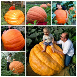 China 20 Pcs Giant pumpkin seeds halloween pumpkin organic seeds Vegetables Nutrient-rich food NON-GMO Edible plants for home garden cheap edible gardening suppliers