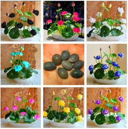 Lotus Flower Seeds Shipped Australia New Featured Lotus Flower
