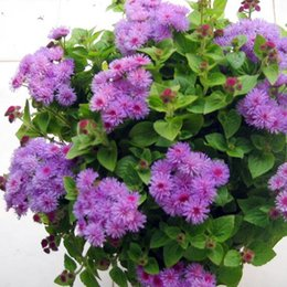 Wholesale Herb Seeds UK - 1 Original Pack 50pcs Tropic ageratum Seeds, adaptable for different soils herbs Blooming Plants seeds