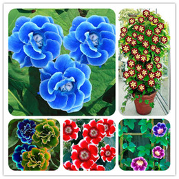 Wholesale Rare Climbing Gloxinia Flower Seeds Mixed Sinningia Gloxinia Flower Seed For Home Diy Garden Decor Ornamental Plant