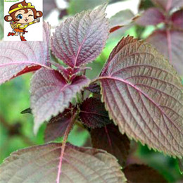 organic flowers seeds Australia - Suntoday Purple GREEN Shiso Basil Perilla Frutescens Flower Seeds Asian Garden Plant Heirloom Non-GMO Hybrid Organic Fresh Seeds