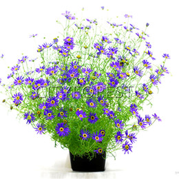 $enCountryForm.capitalKeyWord UK - Colorful Brachycome Iberidifolia Daisy 500 Seeds Versatile Easy-growing Flower Variety Swan River Daisy Great for Landscape Spot Garden
