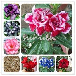 Adenium Obesum Online Shopping | Desert Rose Seeds Adenium Obesum