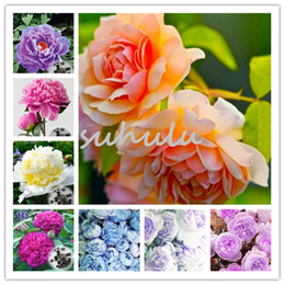 wholesale peony seeds Australia - Bonsai Rare Chinese Peony Seeds 20 Pcs China's Peony Seeds Paeonia Suffruticosa Tree Plant Of Greenery And Flowers Terrace Courtyard Garden