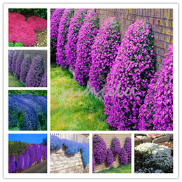 af87f1c8d36b 200 Pcs Bag Rock Cress (Aubrieta Cultorum)Seeds Rare Ground Cover Rock  Cress Flower For Home Garden Perennial Plant Free Shipping