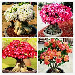 $enCountryForm.capitalKeyWord Australia - 100% True Adenium Obesum Seeds 4 Pcs Mixed Desert Rose Seeds Ornamental Plants Balcony Bonsai Beautiful Flower For Home Garden Planting
