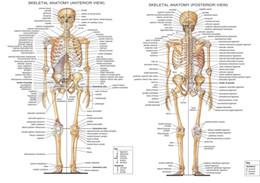 Halloween Decor Skeleton Australia - ANATOMICAL SKELETON - SKELETAL SYSTEM HUMAN BODY MEDICAL Home Decor Wall Stickers Art Silk Poster 24x36inch 24x43inch