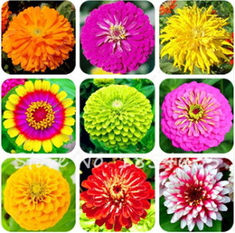 apple seeds 2019 - Hot Selling Rare 120 Pcs Pack Zinnia Seeds Beautiful Green Apple Zinnia Flower Seeds Balcony Courtyard By Flowers Potted