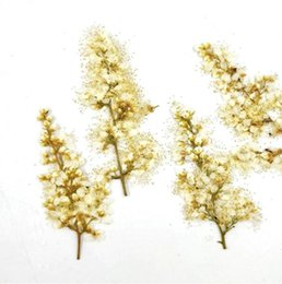 pressed dried flowers NZ - 120pcs Pressed Dried Spiraea Thunbergii Sieb. Flower For Jewelry Postcard Photo Frame Phone Case Bookmark Making DIY