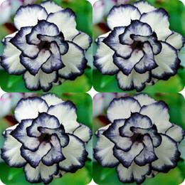 100 Pezzi Rare Nero Bianco Desert Rose Semi Adenium Obesum Fiore Perenne Piante esotiche Semi di fiori Bloom Balcone Giardino Giardino