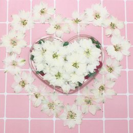 Wedding Display Cases Canada - 120pcs Pressed Dried White Consolida Ajacis Flower Plants Herbarium For Resin Jewelry Making Postcard Frame Phone Case Craft DIY