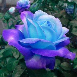 100% genuino reale blu rosa rosa semi di fiori 100 pezzi semi di rosa bonsai pianta per la casa e il giardino