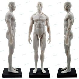 1: 6 Анатомия плоти Поверхностная мышца Анатомическая модель скелета мышечной ткани человеческого тела для изучения и преподавания
