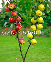 planting apple tree UK - 50 pcs bag Dwarf Apple Bonsai seeds, Miniature Apple Tree Indoor & Outdoor Sweet Organic Fruit Vegetable Pot Plant DIY Home Garden