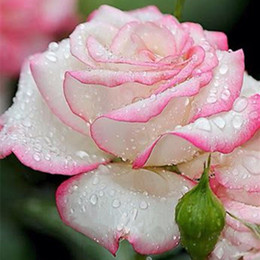 white rose seed wholesalers Australia - Garden Annual Biennial pink white Rose Seeds *100 Pieces Seeds Per Package* New Arrival Two Colors year seed Flower Seeds Garden Plants
