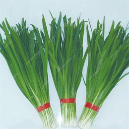 chinese seeds vegetable 2021 - Chinese Chive Bonsai Garden Potted Leek Plants Bonsai Seeds For Home Garden Easy To Grow Vegetables Four Seasons Plantin