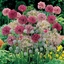 Wholesale Rare Color Giant Allium Giganteum Beautiful Flower Seeds Garden Plant The Budding Rate Rare Flower For Kid