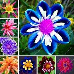 Regenbogen Garten Blume Pflanzen Online Großhandel Vertriebspartner