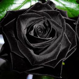 $enCountryForm.capitalKeyWord Australia - 100Pcs Mysterious Desert Black Roses Seeds Flower Adenium Obesum Bonsai Rose Flower Seed Perennial Bloom Balcony Garden Plants Yard