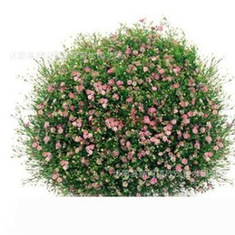 white rose seed wholesalers NZ - 500g beautiful flower seeds Babysbreath white pink rose red colors plant seed for familiy garden balcony
