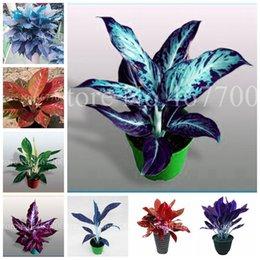Vente en gros 200 pcs graines colorées Aglaonema bonsai 'rose DUD' belle mosaïque extérieure plante rare fleur de plante en pot, fleur d'air purifiant