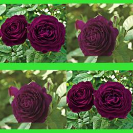 desert roses plants 2019 - 100Pcs Dark Purple Roses Flowers Seeds Bush Tree Adenium Obesum Bonsai Desert Rose Flower Seed Perennial Bloom Balcony G