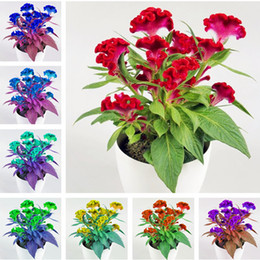 flower seeds sale NZ - Big Sale! 120 Pcs Cockscomb Seeds Bonsai Flower Seed, DIY Potted Plant, Planting is Simple, Radiation Absorption, the Budding Rate 97%