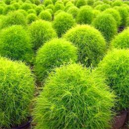 $enCountryForm.capitalKeyWord Australia - 100pcs Kochia Scoparia Seeds Evergreen Plant Rapid Grow Grass Decorative Garden Flowers Seed Exotic Perennial Plants Balcony