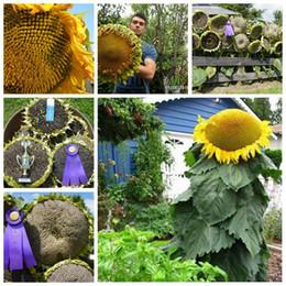 Ingrosso Grande promozione! 100 pezzi di semi di girasole giganti semi di fiori giganti grandi semi di girasole nero semi di girasole russi per giardino domestico Facile da coltivare