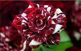 Semi di fiori di rosa rossa e bianca coloritamente scuri * 100 semi per confezione * Balcone Fiori in vaso Piante da giardino in vendita