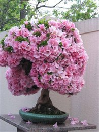 sakura seeds 2019 - 20 pcs bag Weeping Sakura Seeds, cherry blossom seeds, beautiful sakura tree bonsai pot plant tree flower seeds for home