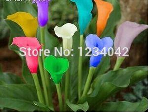 Ücretsiz nakliye, nadir doğal renkli calla zambak orkide tohumları 200 ADET, balkon bonsai çiçekler