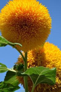 Ayıcık Ayçiçeği tohumları Ayçiçeği tohumları Balkon Saksı Bitkileri Bahçe Bonsai Çiçek tohumları kolay plant10pcs / lot RS61