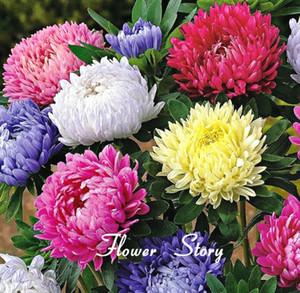 30 + semi semi cinesi Aster (Callistephus) ti danno un giardino pieno di brillante fiori estivi grandi fiori pacchetto originale Spedizione gratuita