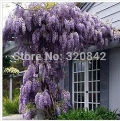 35 pcs bag Purple Wisteria Flower Seeds for DIY home & garden plant Wisteria sinensis ( Sims ) Sweet seed Free Shipping
