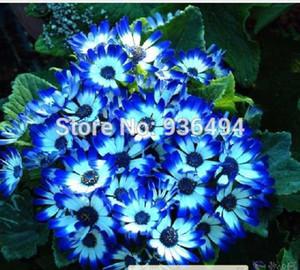 بذور زهرة بونساي ، 100 قطعة من بذور الأقحوان الزرقاء النادرة ، بذور نبات الحديقة