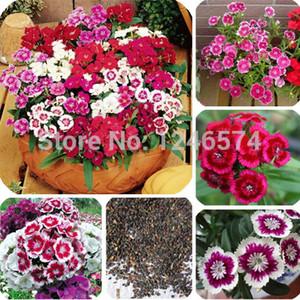 Sıcak 100 ADET Renkli Dianthus tohumları, çiçek tohumları, muhteşem DIY bahçe çiçek, bonsai yard balkon büyümek kolay
